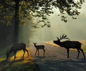 Elk Rut Harem, Backlit